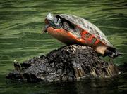 10th May 2013 - It's a Bird, It's a Plane, No It's Super Turtle
