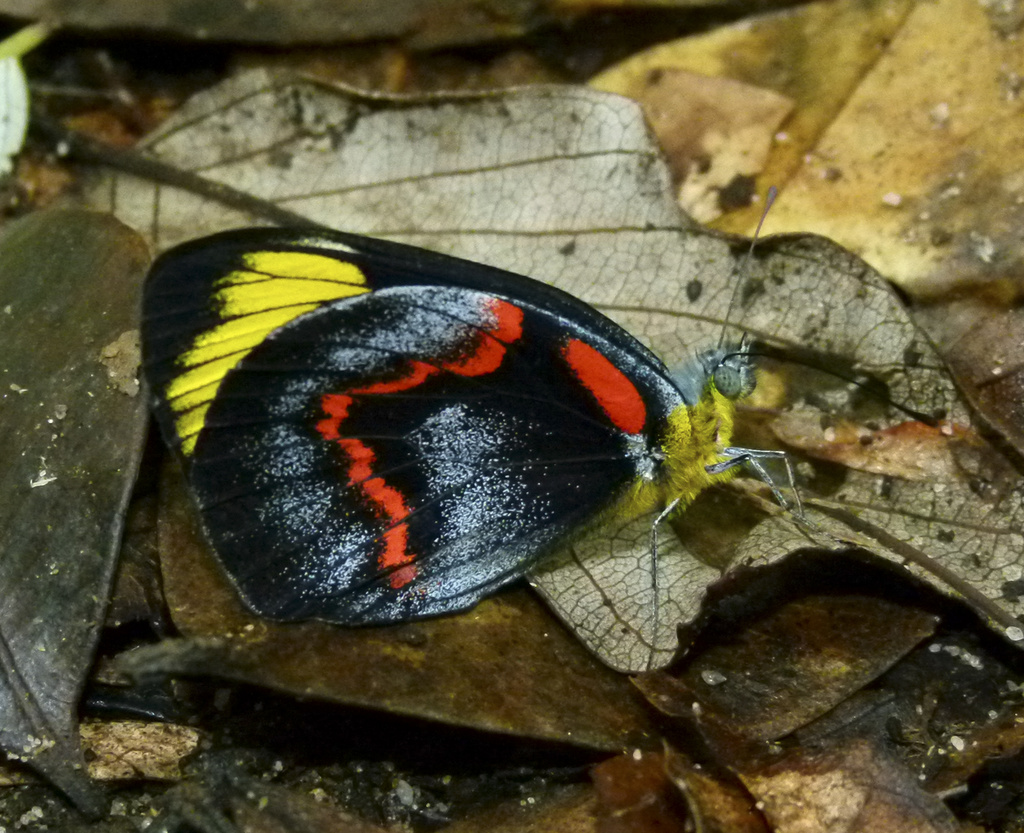 Common Jezebel or Black Jezebel Butterfly by onewing