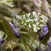 orange tip and wisteria by jantan