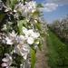 Pear orchard by pyrrhula