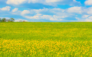 12th May 2013 - Field Of Yellow