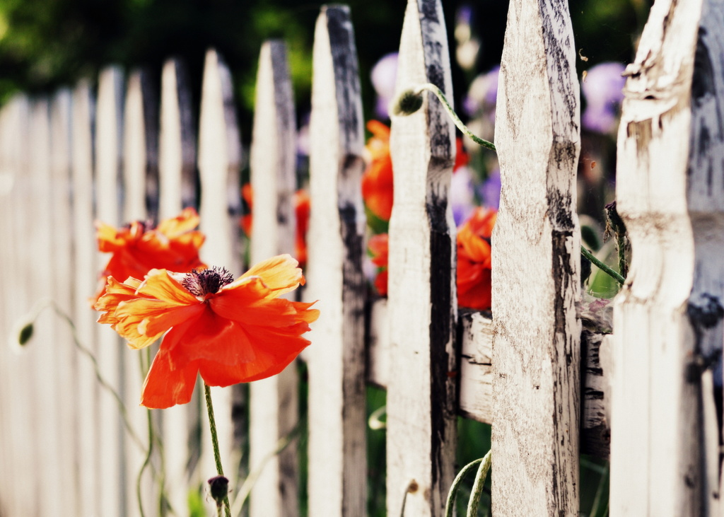 Picket Fence by pflaume