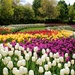 tulips, as far as the eyes can see! by summerfield
