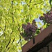 purple lilac and lime green acer in 'sunlight'