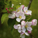 Apple Blossom after the Rain by nicolaeastwood