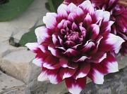 19th Aug 2010 - flower
