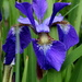 Iris by aecasey