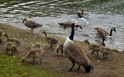15th May 2013 - Geese and goslings.