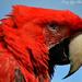 Macaw by tonygig