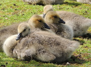 17th May 2013 - Goslings - ready for nap time!