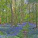 Pathway through the Bluebell Wood by ivan