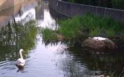 18th May 2013 - Beautiful Swans