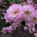 Spring Flowering Shrub