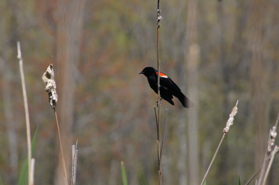 Redwing Blackbird in the Cat-tails by rob257