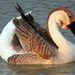 Chinese Goose in the evening sunshine by grannysue