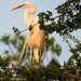 Egret basking in the evening sun by grannysue