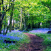 Bluebell Wood 2013