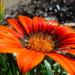 Daisies - Orange