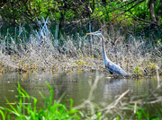 16th May 2013 - Blue Heron at the Horizon Marsh - largest freshwater cattail marsh in the United States