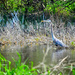 Blue Heron at the Horizon Marsh - largest freshwater cattail marsh in the United States