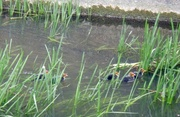19th May 2013 - Baby coots swimmg to nest.