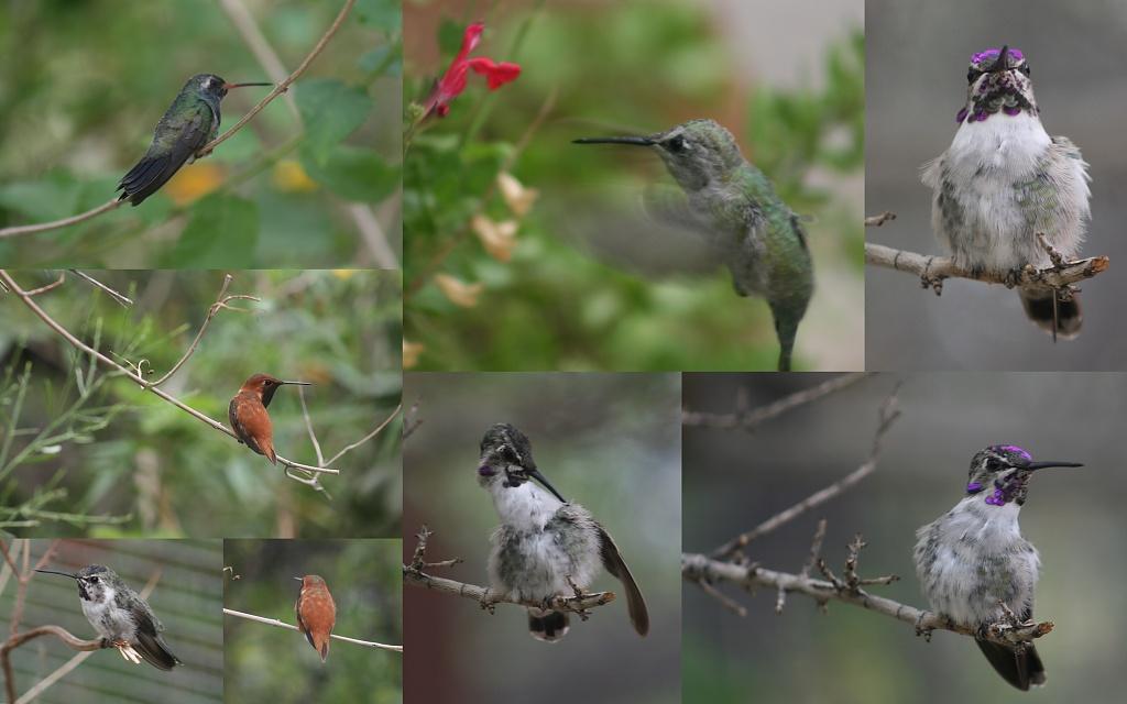 Hummingbirds by kerristephens