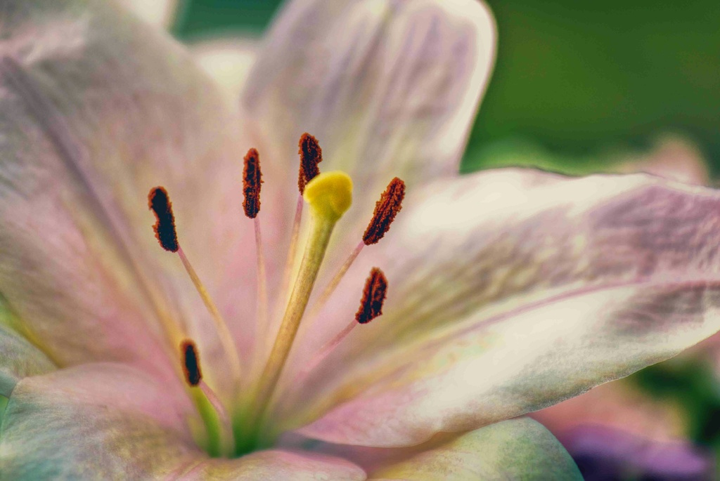 Lily by exposure4u