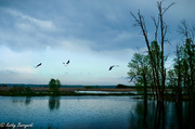 20th May 2013 - The Flight of the Pelican