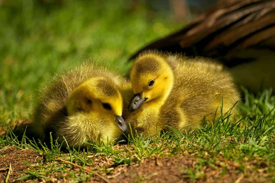 Sweet Goslings by exposure4u