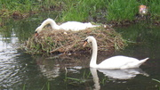 22nd May 2013 - Swans - waiting for their babies.