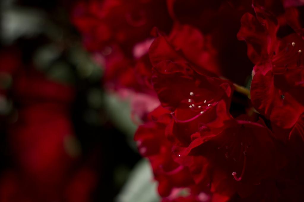 Red Rhodie by nanderson