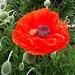 poppy by summerfield