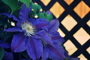 23rd May 2013 - Clematis on Lattice