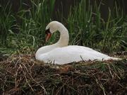 24th May 2013 - Gracious swan