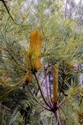 24th May 2013 - banksia