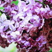 One more picture before the lilas has finished blooming by bruni