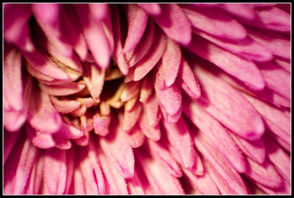 marco chrysanthemum by nicolaeastwood