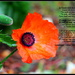 Poppy Day by jankoos