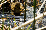 28th May 2013 - Duckling