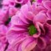 Lovely little pink by nicoleterheide