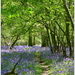 More bluebells! by judithdeacon