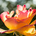 Dancer (Rose Bokeh) by cdonohoue