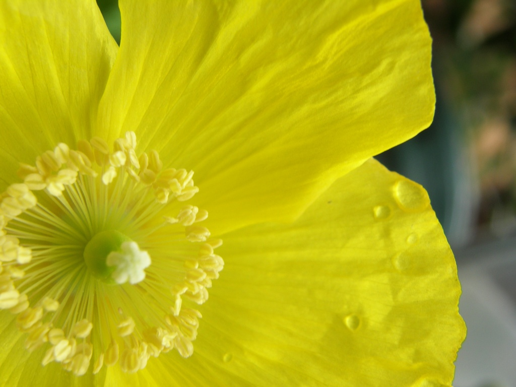 My Welsh Poppy  by beryl
