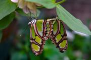 31st May 2013 - When Butterflies Mate
