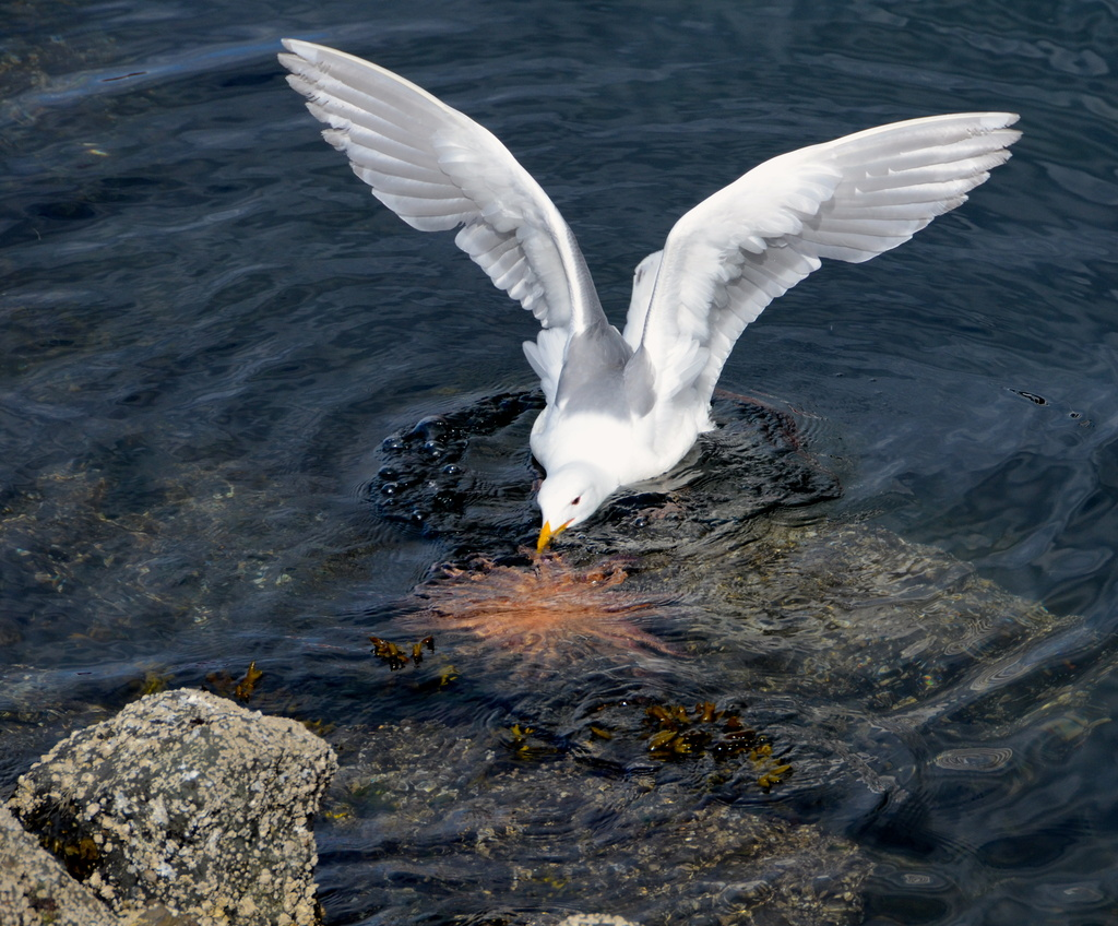 Seagull working on dinner by kathyladley