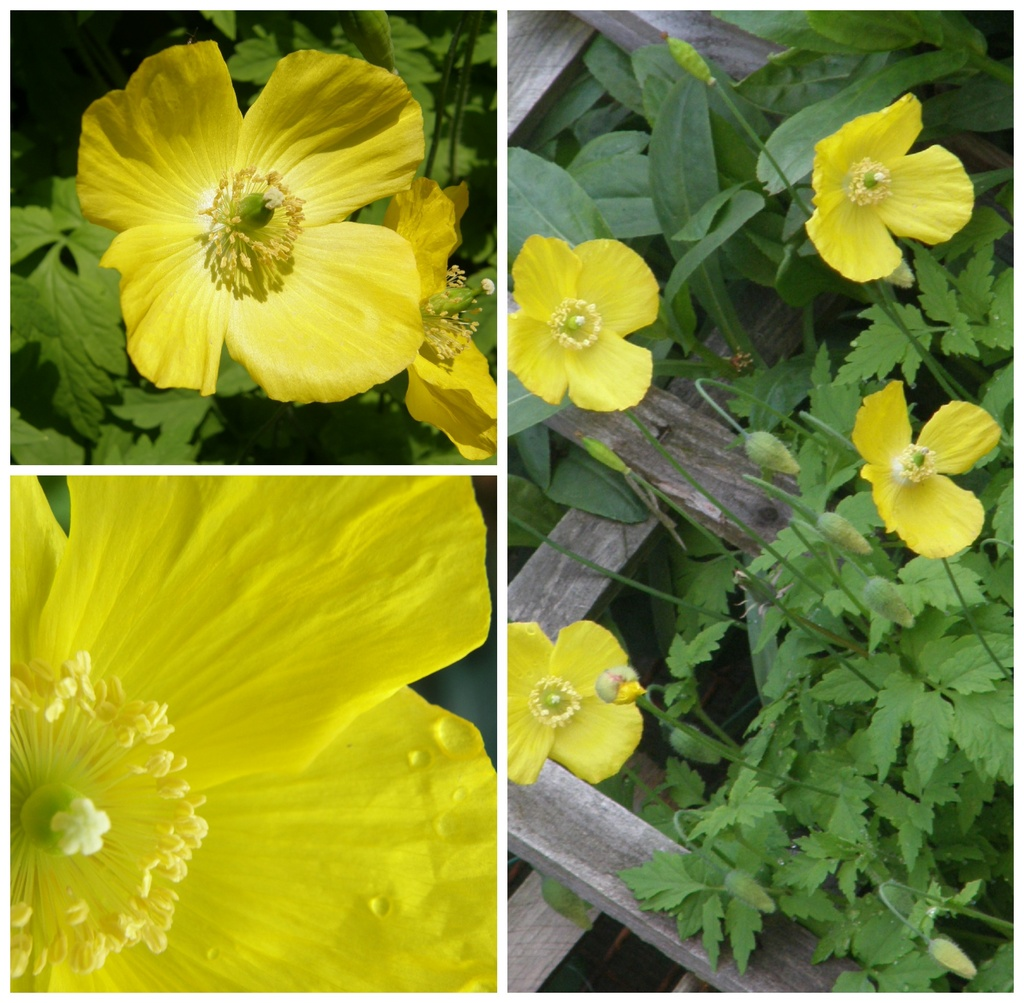 Welsh Poppies  by beryl