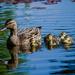 Little ducklings by nicoleterheide