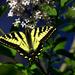 Butterfly by nanderson