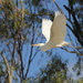 Great White Egret by landownunder