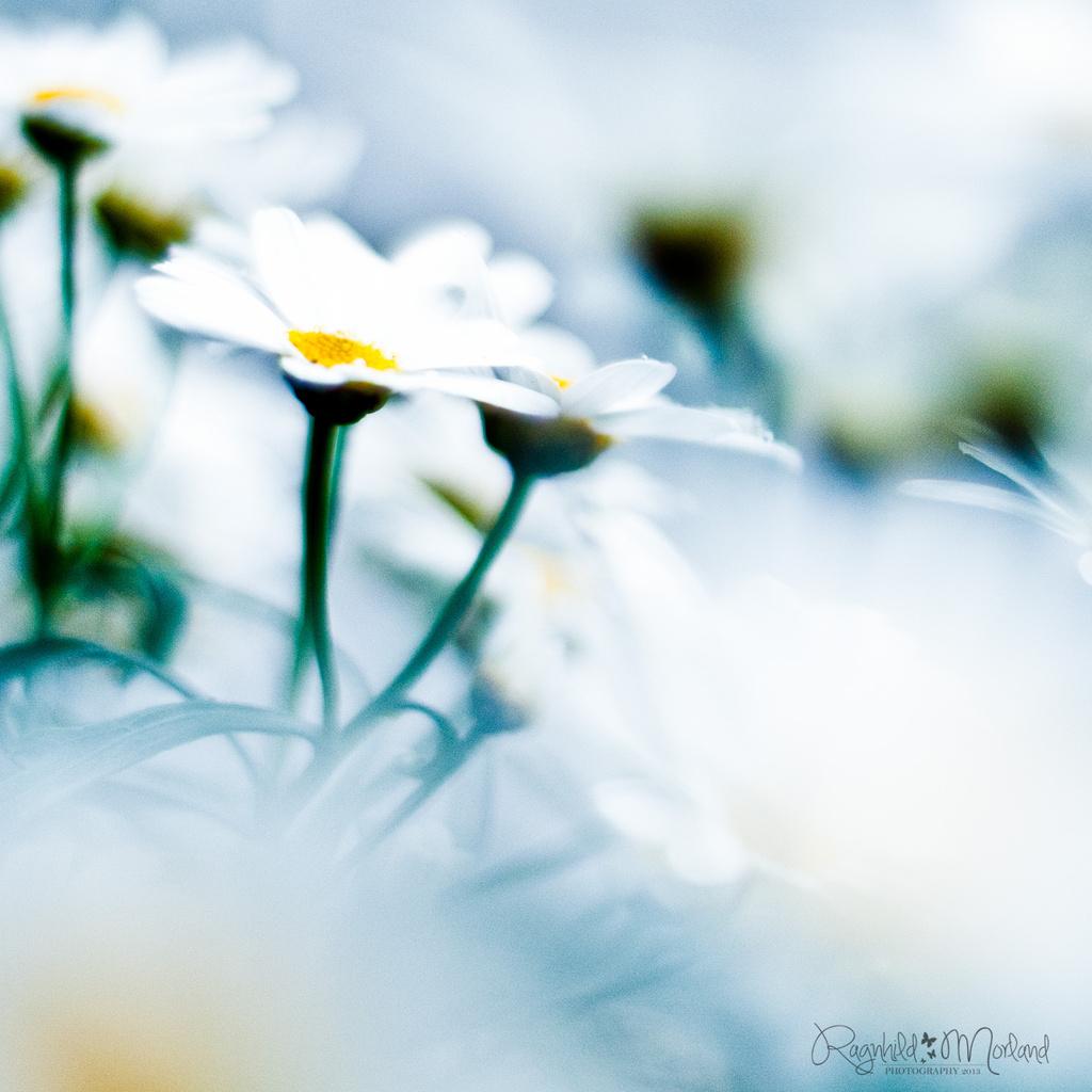 Daisy by ragnhildmorland